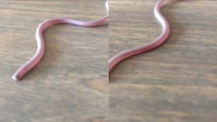 Può perforarti la mano con la coda: le immagini del serpente che non vorresti mai incontrare