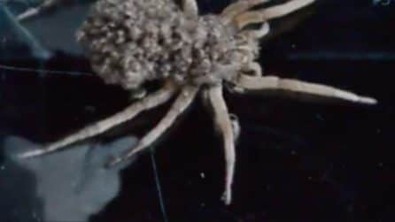 Non immaginerete mai ciò che si nasconde nella schiena di questo ragno