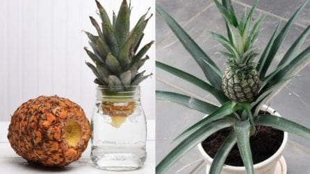 Come far crescere la pianta d'ananas partendo dal frutto: un metodo unico