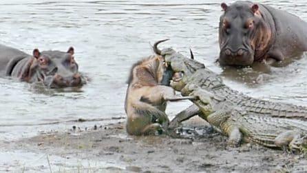 Lo gnu sta per essere divorato dai coccodrilli, ma gli ippopotami gli salvano la vita