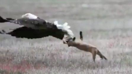 Una volpe ha appena catturato la sua preda ma non è sola: il tremendo attacco dall'alto