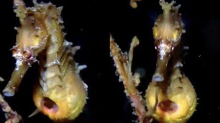 Il parto del cavalluccio marino maschio: uno spettacolo unico