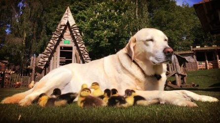 Fred il Labrador, diventa papà di nove anatroccoli. La sua storia è una lezione d'amore