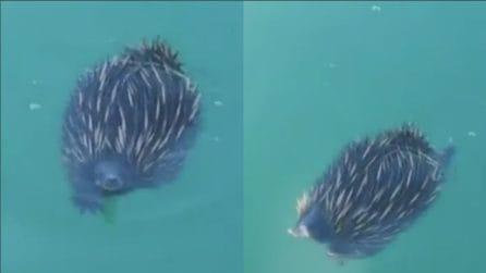 """Vede qualcosa muoversi in acqua: riprende uno """"strano"""" animale che prova a nuotare"""