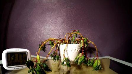 La pianta sembra morta: il time lapse riprende lo spettacolo della natura