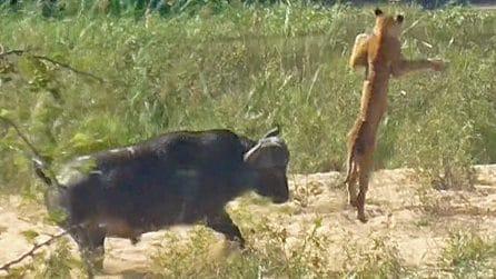 Il rettile nelle fauci del leone sembra spacciato: un bufalo interviene e gli salva la vita