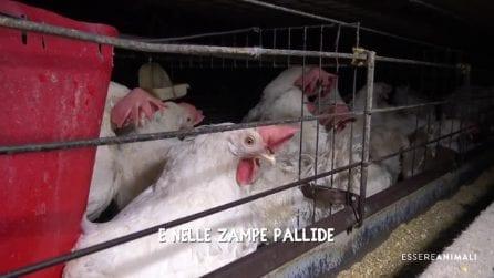 Le condizioni disumane delle galline ovaiole negli allevamenti intensivi italiani: l'indagine choc