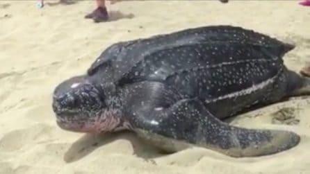 Pesa circa 900 kg: le dimensioni di questa tartaruga marina sono incredibili