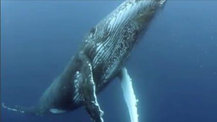 Il dolce verso delle balene: un suono che vi emozionerà