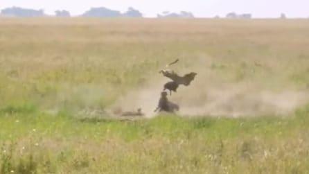 La mamma è pronta a tutto per difendere il suo cucciolo: così aggredisce e lancia in aria un leopardo
