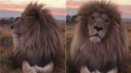 A pochi centimetri dall'enorme leone: l'incontro ravvicinato vi toglierà il fiato