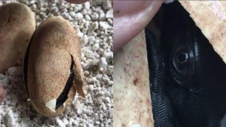 Il drago nero: le uova si schiudono, quello che si vede incanta tutti