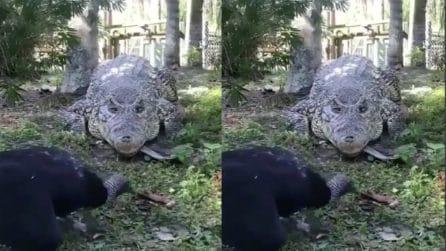 La prova di coraggio del tacchino: si avvicina all'alligatore