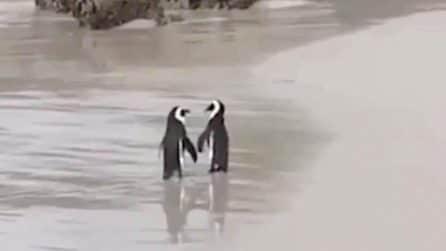 I due pinguini innamorati si tengono per la zampa: la tenera scena in spiaggia