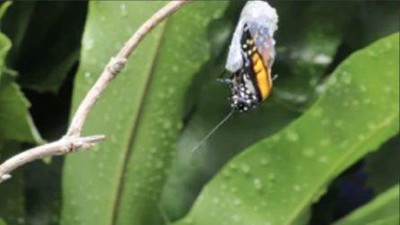 La farfalla esce dal bozzolo: il timelapse è spettacolare