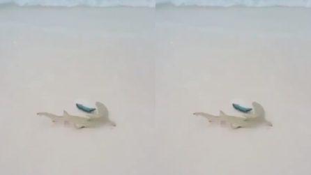 Lo squalo corre verso la preda ma rischia la vita