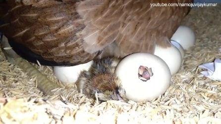 Le uova si stanno per schiudere: il momento è emozionante
