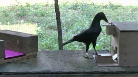 Nel distributore c'è del cibo: quello che s'inventa questo corvo è da non credere