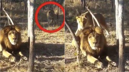 Tende un agguato al leone che non si accorge di niente: ecco come va a finire