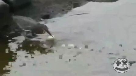 L'uccello lascia un pezzo di pane sull'acqua: un ingegnoso modo di pescare la sua preda
