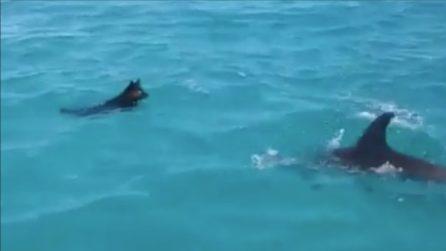 Il cane nuota tranquillo ma quando sbuca il delfino accade l'impensabile