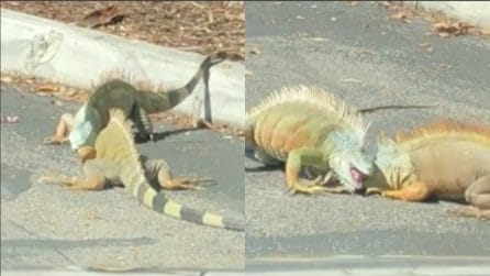 Due iguane combattono furiosamente in strada: il traffico va in tilt