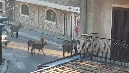 C'è un assembramento in strada: i cervi passeggiano per le vie deserte del paese