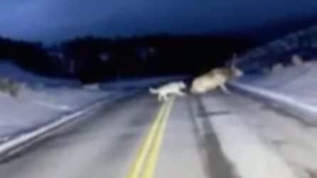 L'attacco dei lupi al cervo sotto gli occhi increduli delll'automobilista