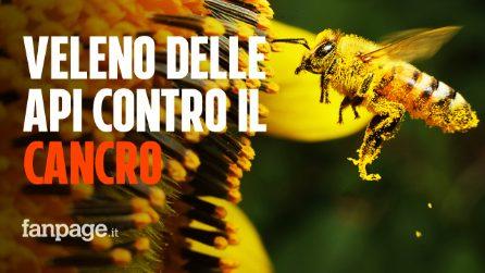 Cancro al seno, il veleno delle api distrugge le cellule tumorali: speranza per la terapia
