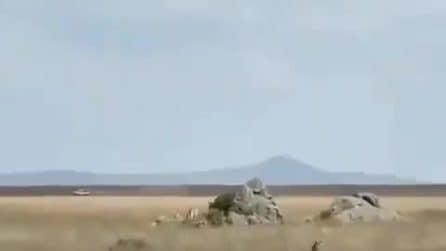 La zebra sembra spacciata: ma incredibilmente riesce a salvarsi dall'attacco del ghepardo