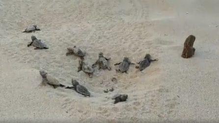 Porto Cesareo, la nascita di 79 tartarughine: il momento emozionante della schiusa