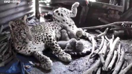 Mamma leopardo trova rifugio in una capanna con 4 cuccioli per ripararsi dai monsoni