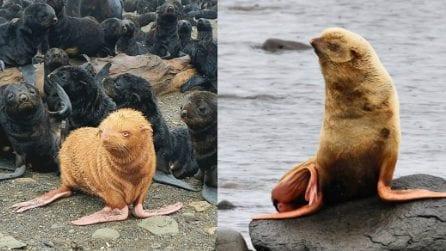 Un raro esemplare di foca rossa è in pericolo: la sua colonia non la riconosce e la emargina