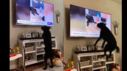 Il cane guarda un video tenero ed è irrefrenabile: salti di gioia davanti alla tv