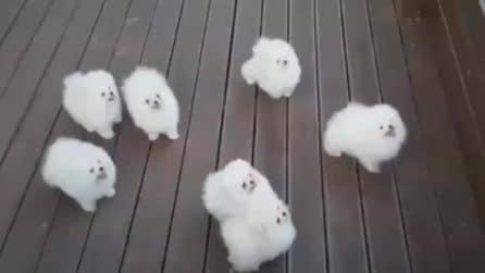 Questi cagnolini che sembrano fatti di cotone