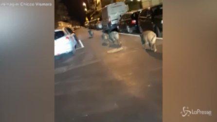 Roma, famiglia di cinghiali passeggia in strada tra lo stupore degli automobilisti