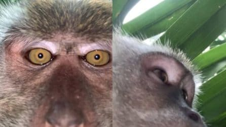 La scimmia vanitosa che ruba uno smartphone e fa video e selfie