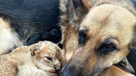 La cagnolina che adotta 2 cuccioli di leone e se ne prende cura come fossero suoi figli