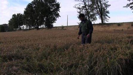 Ecco i danni alle coltivazioni di riso italiano dopo le alluvioni