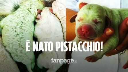 Sardegna, è nato Pistacchio: un cucciolo di Labrador dal pelo tutto verde