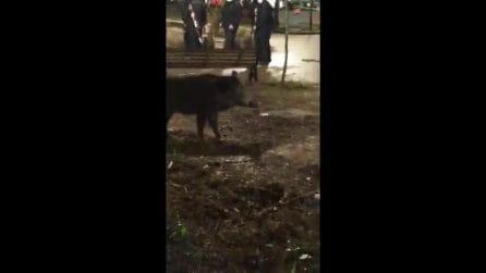 Roma, sedati e uccisi tra le proteste la mamma cinghiale e i suoi cuccioli rimasti chiusi nel parco