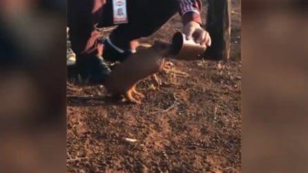 Un uomo offre da bere all'armadillo: la sua reazione è tenerissima