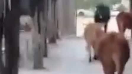 Mucche pascolano nel cimitero di Ragusa: causano danni alle tombe