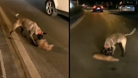 Il cane cerca di rianimarlo disperatamente ma il gattino è morto: le immagini sono commoventi