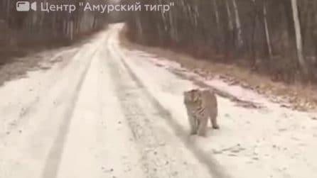 Cammina nella stradina di montagna: all'improvviso spuntano due tigri davanti a lui