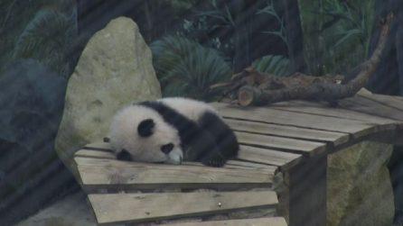 Ecco il tenero Fan Xiang, il primo panda gigante nato in Olanda