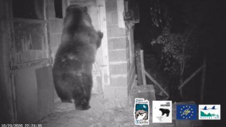 """Parco della Majella, l'intelligenza dell'orsa: apre il pollaio con le """"mani"""""""