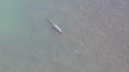 Coccodrillo gigante vs squalo toro: il drone riprende il faccia a faccia