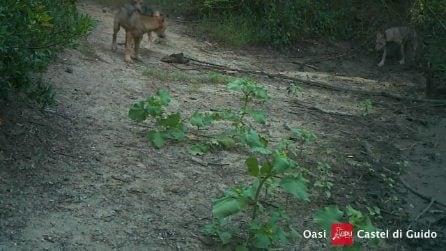 Lupi a Roma: sei nuovi cuccioli giocano nella Riserva Naturale Statale del Lito