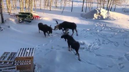 L'alce caccia a cornate il rivale: la lotta per chi comanda